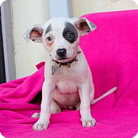 Adopt A Pet :: Damsel - Los Angeles, CA