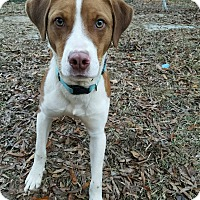 Adopt A Pet :: Cody - Indian Trail, NC