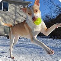 Adopt A Pet :: Polly - Minneapolis, MN