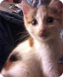 Calico Kitten for adoption in Jacksonville, Florida - Evie