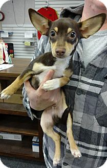 Chihuahua/Dachshund Mix Puppy for adoption in bridgeport, Connecticut - Beans