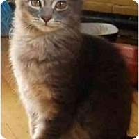 Adopt A Pet :: Grigio - Chicago, IL