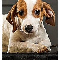 Adopt A Pet :: Chops - Owensboro, KY