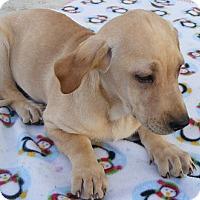 Adopt A Pet :: Blondie - Floresville, TX