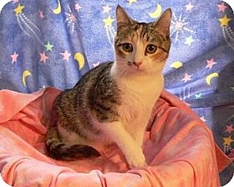 Domestic Shorthair Cat for adoption in Randleman, North Carolina - Lily