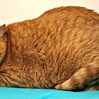 Domestic Shorthair Cat for adoption in Sebastian, Florida - Rico