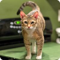 Adopt A Pet :: Stunning Sheena Loves Humans - Brooklyn, NY
