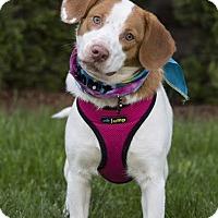 Adopt A Pet :: Suzie Q - Westminster, MD