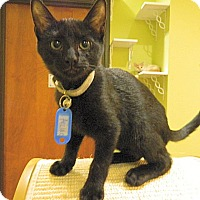 Domestic Shorthair Kitten for adoption in The Colony, Texas - Archie