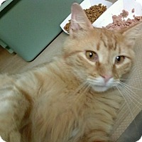 Domestic Shorthair Cat for adoption in New  York City, New York - Sunshine