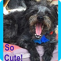Adopt A Pet :: ADORABLE Cameron**Video* - Pasadena, CA