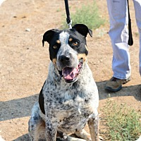 Adopt A Pet :: Capone - Gardnerville, NV