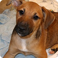 Beagle/Corgi Mix Puppy for adoption in Kittery, Maine - Perdita