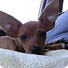 Adopt A Pet :: Loveable Chi Louie