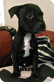 American Pit Bull Terrier/Rottweiler Mix Puppy for adoption in Des Moines, Iowa - Joker