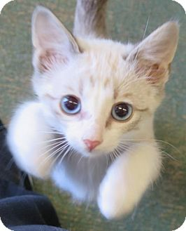Siamese Kitten for adoption in Gonzales, Texas - Tomkin