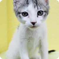 Domestic Shorthair Kitten for adoption in Benbrook, Texas - Chloe