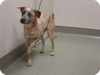 Australian Cattle Dog Mix Dog for adoption in Wildomar, California - Summer