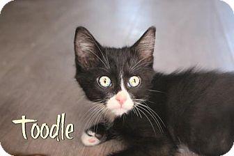 Domestic Mediumhair Kitten for adoption in Benton, Louisiana - Toodle