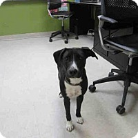 Adopt A Pet :: DESTINY - Olivette, MO