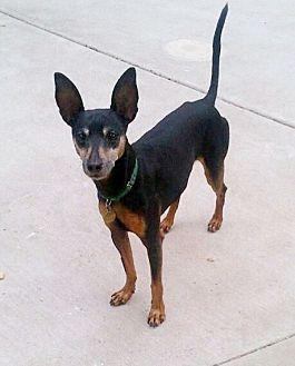 Miniature Pinscher Dog for adoption in Sacramento, California - Blake