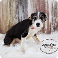 Adopt A Pet :: Gibbs - Lubbock, TX