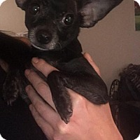 Adopt A Pet :: Lucille Tiny Chi - Norwalk, CT