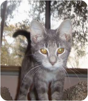 Domestic Shorthair Kitten for adoption in Orlando, Florida - Kitten1