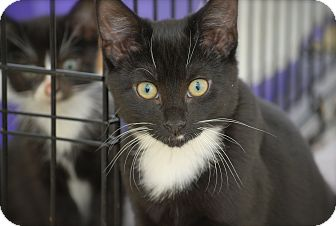 Domestic Shorthair Kitten for adoption in Bensalem, Pennsylvania - Onyx
