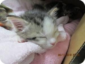 Domestic Shorthair Kitten for adoption in Island Park, New York - Johnny, Scruffy & Duffy