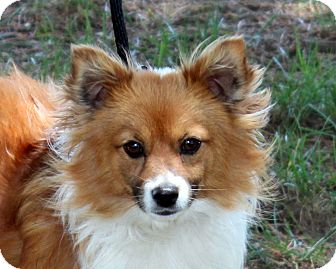 Pomeranian Corgi Mix Puppy