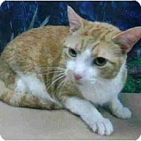 Domestic Shorthair Cat for adoption in New York, New York - Red
