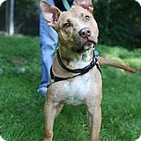 Adopt A Pet :: Konga - Tinton Falls, NJ