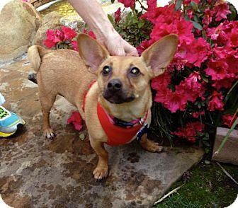 Basenji Dog for adoption in Redondo Beach, California - Maddi is very cuddly!