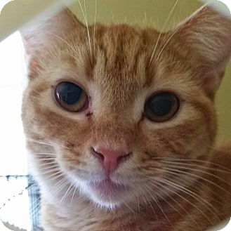 Domestic Shorthair Cat for adoption in Orlando-Kissimmee, Florida - Riley