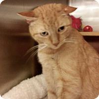 Adopt A Pet :: Van Gogh - Colmar, PA