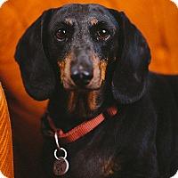 Adopt A Pet :: Snoopy - Portland, OR
