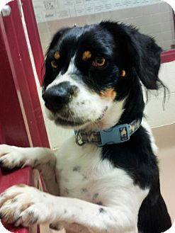 Cocker Spaniel Mix Dog for adoption in Battle Creek, Michigan - Snoopy