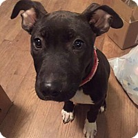 Pit Bull Terrier Mix Dog for adoption in Dayton, Ohio - Meeka