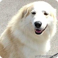 Great Pyrenees/Alaskan Malamute Mix Dog for adoption in Beacon, New York - Wanda in NY - pending