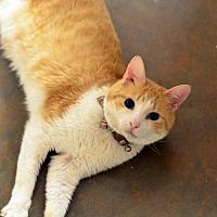 Adopt A Pet :: Tigger150428 - Atlanta, GA