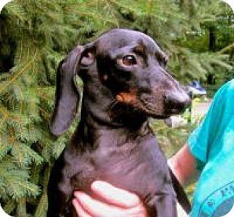 Dachshund Dog for adoption in Bloomington, Indiana - Reinhold