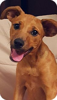 Labrador Retriever Mix Puppy for adoption in Newark, Delaware - Spazz (James/Maryland)