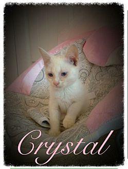 Domestic Shorthair Kitten for adoption in Garner, North Carolina - Crystal