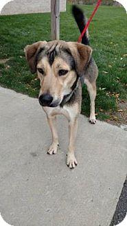 Siberian Husky/Shepherd (Unknown Type) Mix Dog for adoption in Ashtabula, Ohio - Uriah