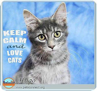 Manx Kitten for adoption in South Bend, Indiana - Hugo