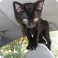 Manx Kitten for adoption in Wildwood, Florida - Stumpy
