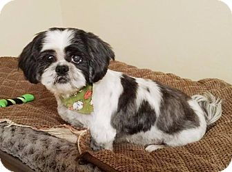 Shih Tzu Dog for adoption in West Springfield, Massachusetts - Grayson