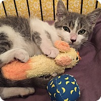 Domestic Shorthair Kitten for adoption in Los Angeles, California - Meyers