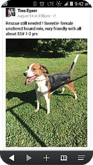 Beagle Dog for adoption in Chino Hills, California - Sweetie - Claremont